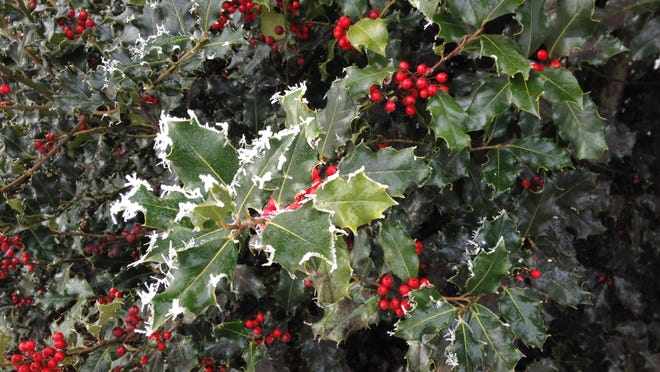 Healthy female holly that hasn't been overly pruned should offer up winter berries.