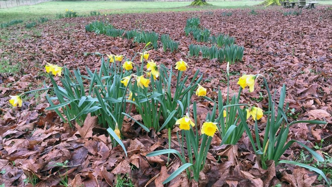 These daffodils are entering their third growing season but a number of factors — planting too shallow, bad timing when planted, growing conditions and predation — could keep some from flowering.
