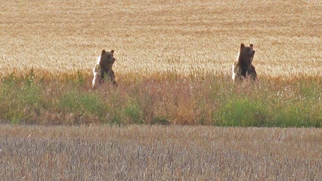 Two young grizzly bears were seen between two farm fields just south of Brady in 2010. A new bear management specialist based in Conrad is responding to bear conflicts in agriculture country.