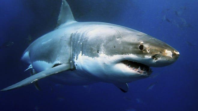 A great white shark swims through the ocean.