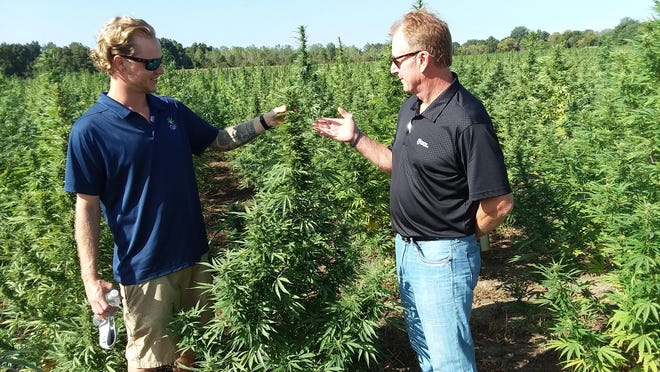 Blake Maddox, vice president of farm operations for GreenFarms, and Mike Gaynier, a local crop insurance agent, examine fully grown hemp plants on Gaynier's 24-acre plot during a field day held at the Smith Brothers Farm in Erie Thursday.