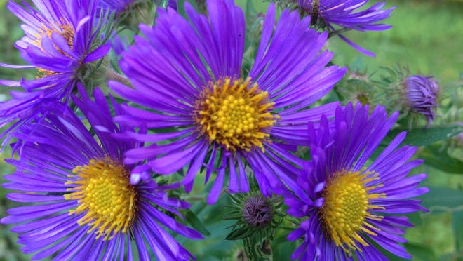 Stunning New England aster explodes into bloom in September and October with deep purple, daisy-like blooms that grow in large clusters on top of 2 to 5 foot tall stalks. Asters are a great choice for late season color and attract migrating monarchs and other butterflies as well.