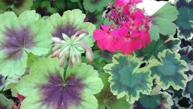 Mercy Medical Center Volunteers' annual geranium sale is May 17 and 18.