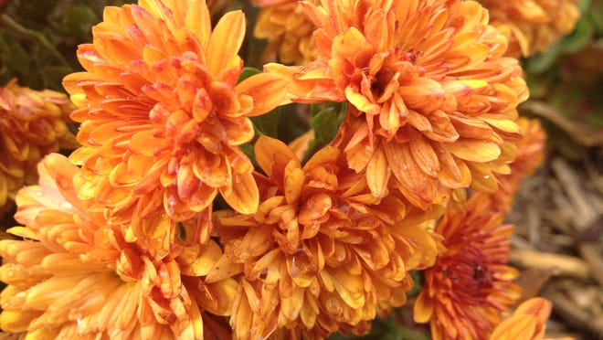 Preventing crown rot is the key in overwintering mums in the garden.