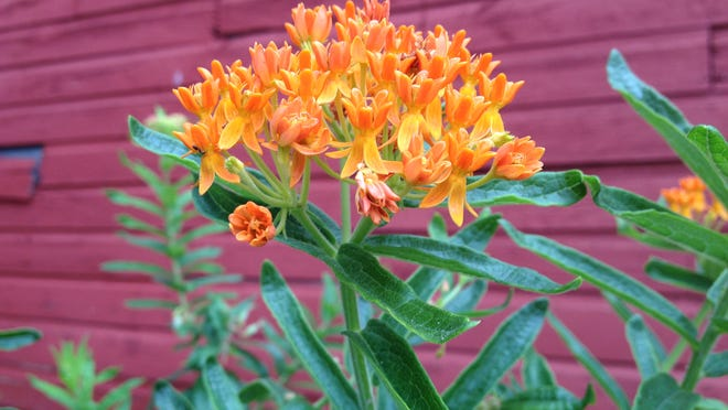 """Whatever fancy name they give it, it is still native orange milkweed. You'll see it marketed as """"butterfly flower,"""" """"glory flower"""" and others."""