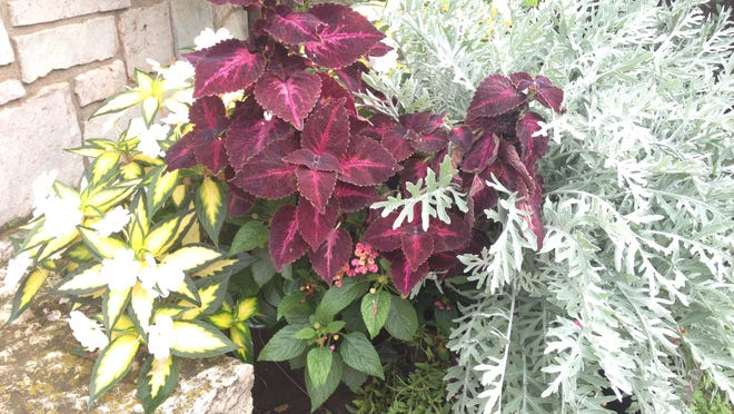 Celebrate the Year of the Coleus by incorporating the fun, colorful plants into your garden beds and containers. Seen here in beautiful wine and purple, coleus goes well with many container and bedding plants including this dusty miller and painted new guinea impatiens. ROB ZIMMER/Post-Crescent Media.