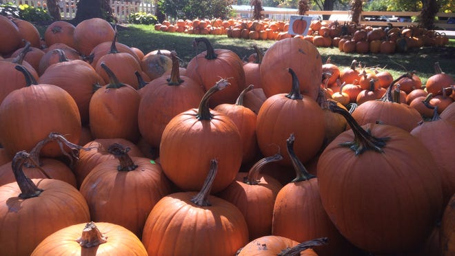 Pumpkins on display for visitors at Iron Kettle Farm in Candor.