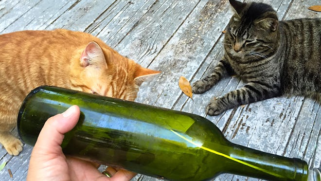 The bottle, pre-break (with mildly interested cats)