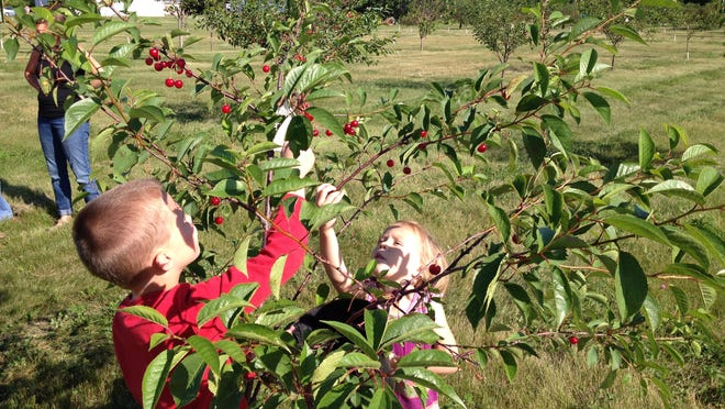 Hazel and Jack Monfils, Brussels, pick from a cherry tree sized right for them at Alexander's Cherry Orchard in Brussels. The orchard opened for pick-your-own Wednesday.