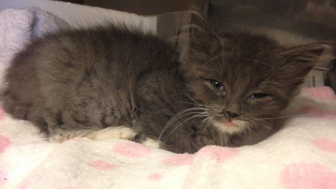 A 10-week-old kitten, Lil Mitts, is one of the younger animals that would have their own space if the county board approves a new building addition at the St. Clair Sheriff's Department's Animal Control building.