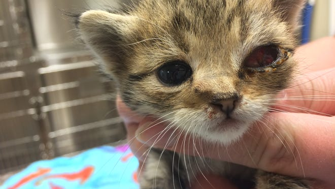 A 3-week-old stray kitten named Abby was shot twice with a BB gun and still has the pellets lodged in her head. Salem Friends of Felines is raising money to save her.