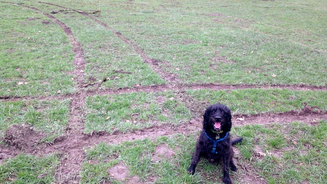 Mater the Dog sits among the tracks of a car that jumped the curb and drove around on the lower off-leash dog park area at Orchard Heights Park in West Salem.