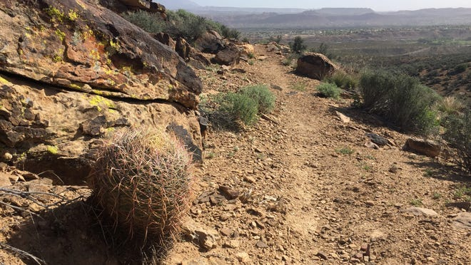 A barrel cactus grows alongside the Black Brush trail in the Santa Clara River Reserve, shown in this April 2 photo.