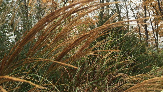 Ornamental grasses, especially native varieties, fit harmoniously into almost any planting plan.