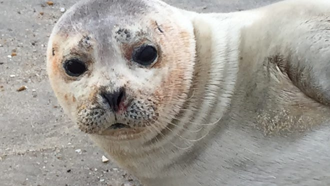 A seal rests on Middlesex Beach on Feb. 14. Seal sightings throughout the Mid-Atlantic have become more common.