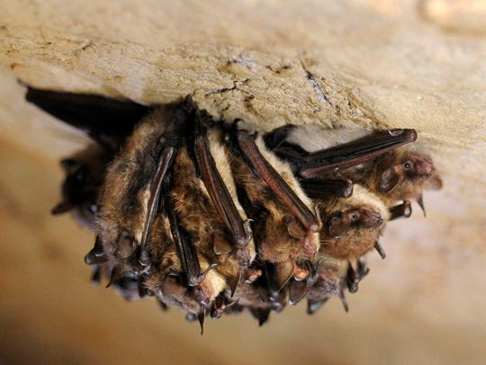 FILE - In a Dec. 16, 2011 file photo a cluster of little brown bats hibernate in New Mammoth Cave near LaFollette, Tenn. Researchers for the first time found that little brown bats appear to be showing resistance to white-nose syndrome, which has killed millions of bats across North America. (Amy Smotherman Burgess/Knoxville News Sentinel via AP, File)