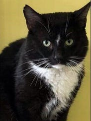 Boy is a handsome, adult, neutered, male tuxedo He