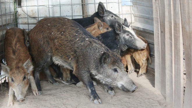 Feral hogs are kept in a pen at Jason Bond's buying point near Snyder, TX. Bond operates a hog station just west of Snyder. Some he traps himself; others he purchases from other trappers. On a good week, 100 pigs will move through his holding pens.