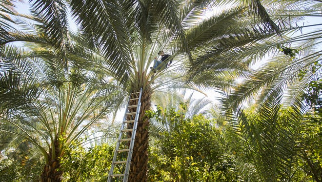 """Pedro Medina a """"palmero"""" who has been working with dates over the last three decades learned his craft on 56 foot palm trees. In this photo he climbs a 32 foot palm tree in late winter 2018 pollination stage at Flying Disc Ranch in Thermal."""