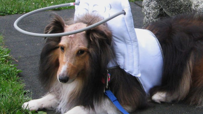 Sochi, a 4 year old blind Sheltie wearing Muffin's Halo after brain surgery on July, 3, 2014.  Worried that her dogs, Muffin and Chloe were going blind, Silvie Bordeaux created Muffin's Halo Guide for Blind Dogs, a device that encircles a dog's head and prevents blind pets from running into walls and furniture. The halo is made of lightweight copper tubing that attaches to cloth wings and a harness fitted around the neck and chest.