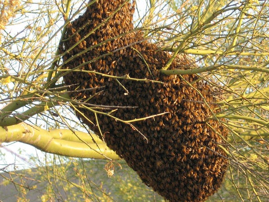 A bee swarm in a tree in Tucson, Arizona.
