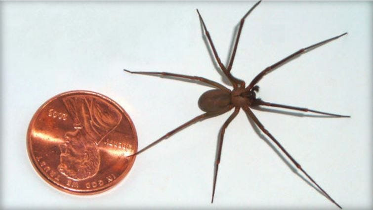UCR Spiders Site: Brown Recluse ID