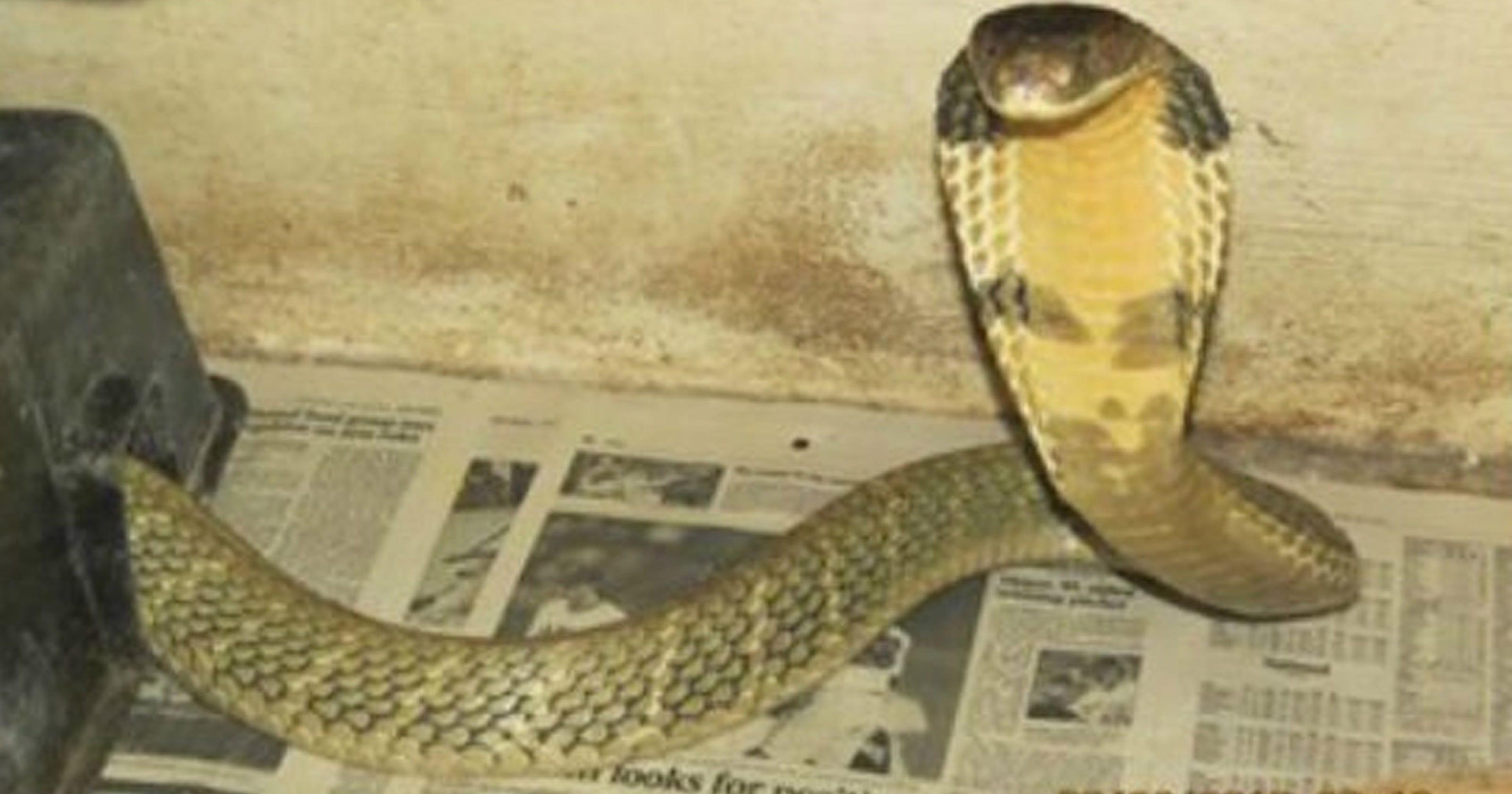 Missing King Cobra Found Hissing Behind Dryer