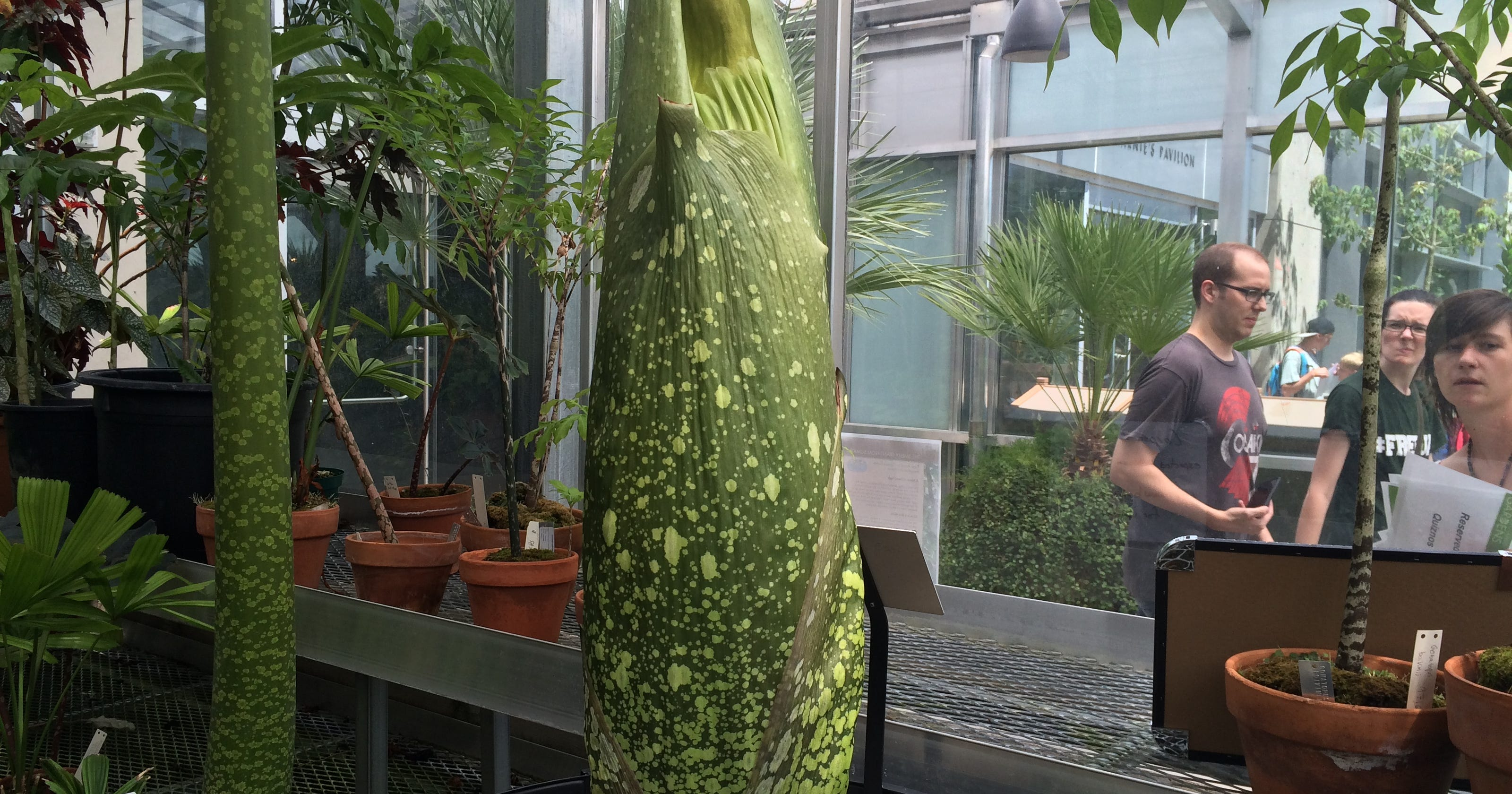 Corpse Flower At Botanic Gardens Will Bloom In 2 Weeks