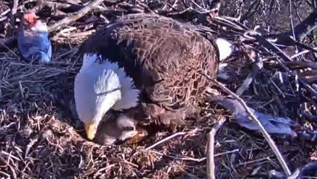 An adult bald eagle in a nest outside Hanover tends to its newly hatched chick on Tuesday, March 29, 2016. (Courtesy of Pa. Game Commission)