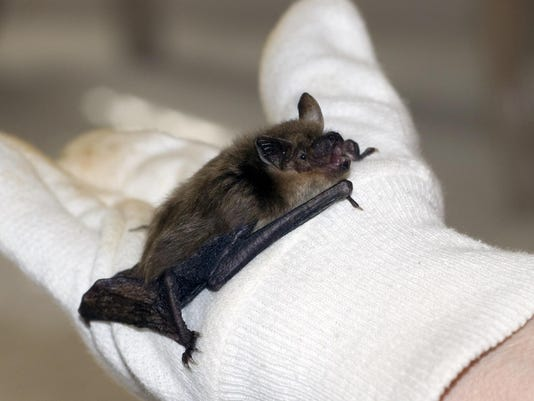 Big Brown Bat is not so big