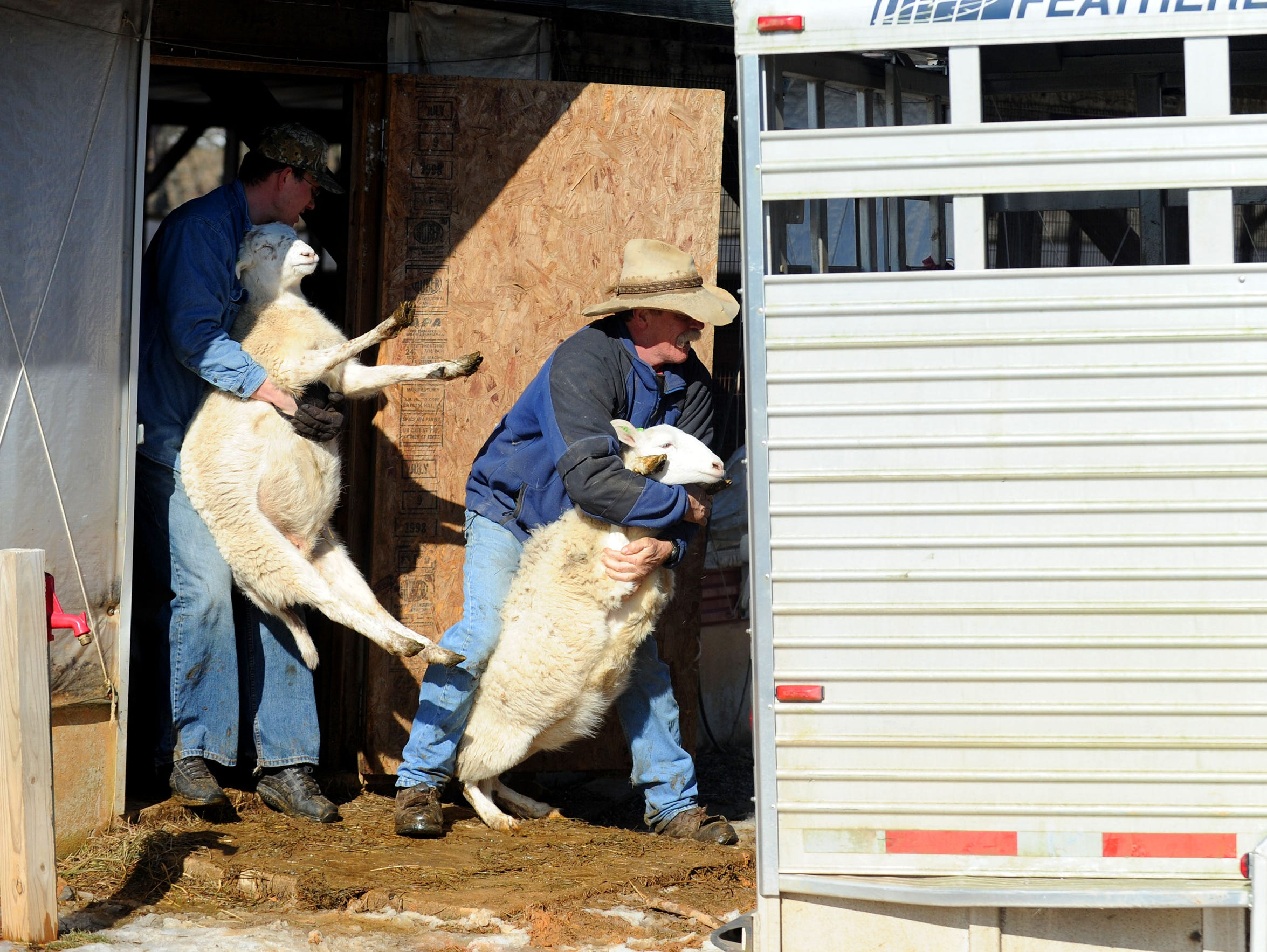 Sergei Kasyanov and Rob Robertson load sheep being