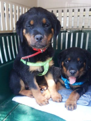 These 11-week-old Rottweiler puppies were confiscated after an animal cruelty arrest in Boughton Park. They do not appear to be injured, according to the Ontario County Humane Society.