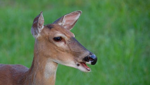 escaped captive whitetail deer have escaped in Eau Claire County
