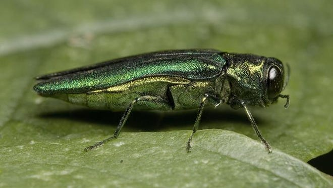 The emerald ash borer has been reported in Bossier, Claiborne, Union and Webster parishes. It is expected soon in northeastern Louisiana. The insect attacks ash trees.