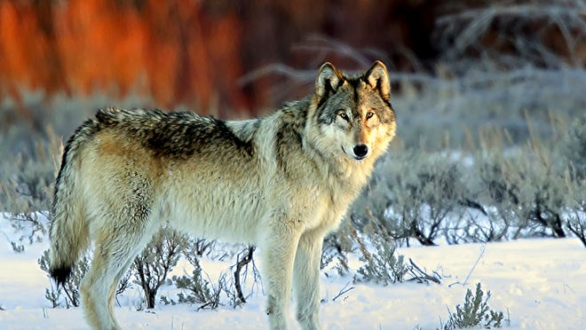 A U.S. district court ruling to return Great Lakes wolves to the Endangered Species List defies biology and could trigger a backlash from Congress.