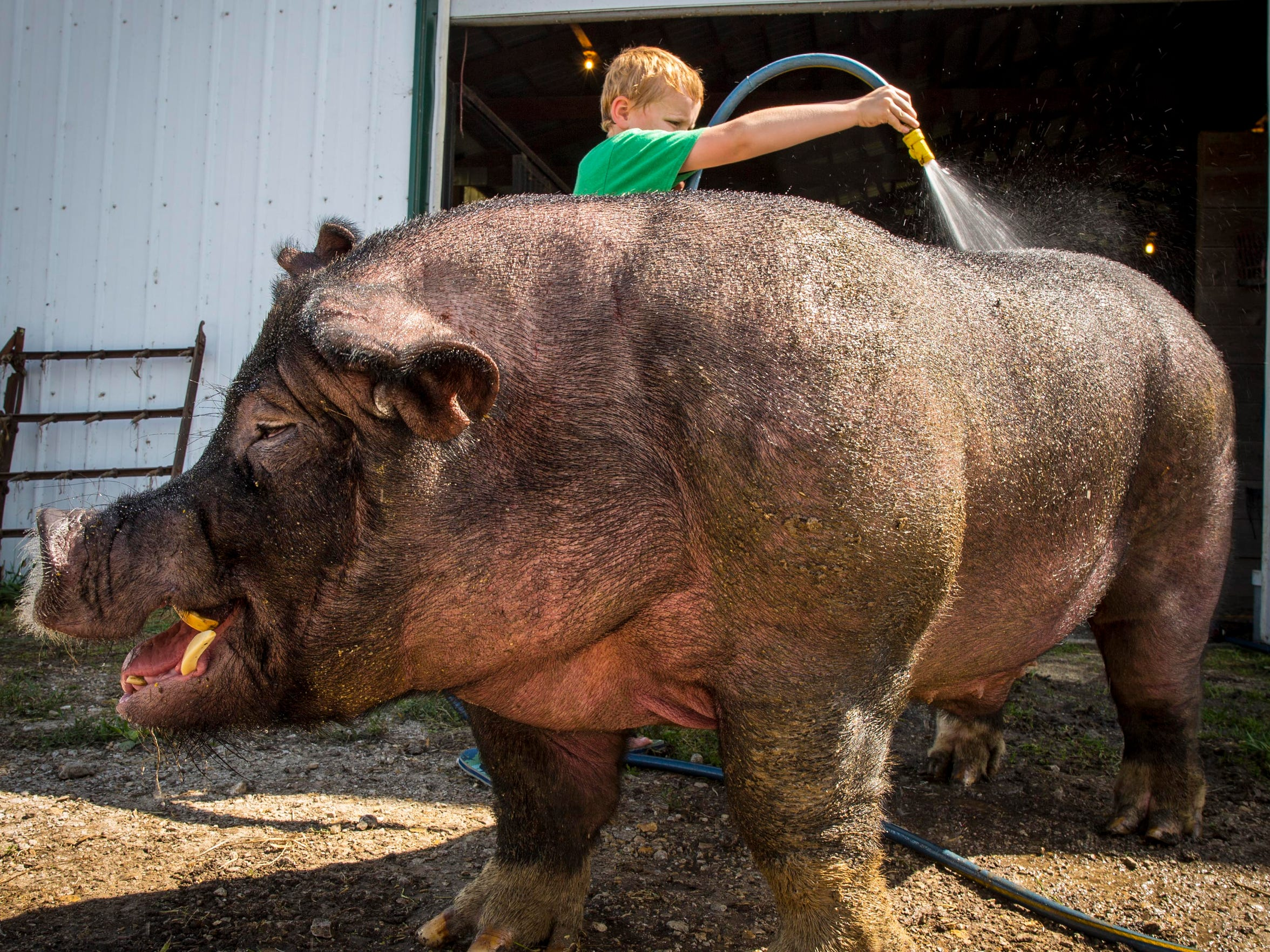 A boar as big as Turbo Charge loves a shower on a sunny, hot summer day.