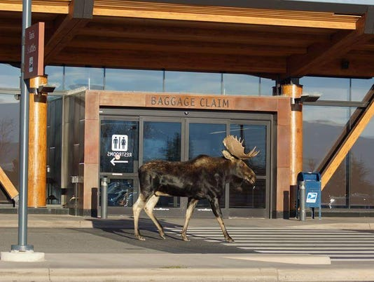 636680767559698379-This-moose-stopped-by-Jackson-Hole-Airport-in-October-2015.-Photo-courtesy-Philip-Bollman.jpg