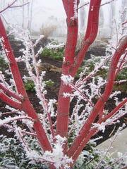 Acer palmatum 'Sango Kaku' in the snow