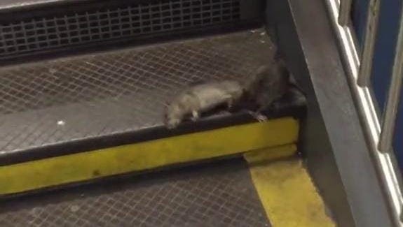 """Has """"Pizza Rat"""" turned to cannibalism?"""