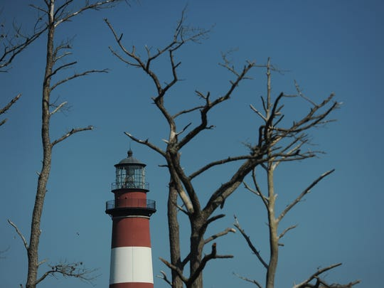 This photograph from July 23, 2016 shows the Assateague Lighthouse framed between pine tree affected by the pine bark beetle on Chincoteague National Wildlife Refuge.