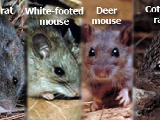 636021155820292551-rodents.jpg