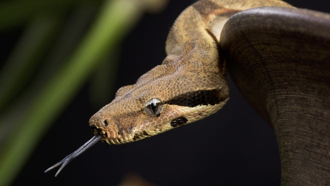 File: Red-tailed boa constrictor