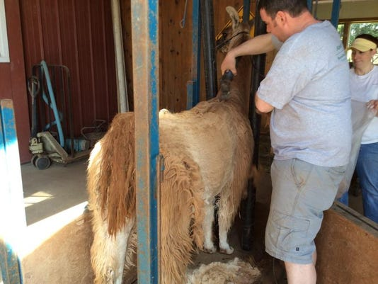 Shearing 1.jpg