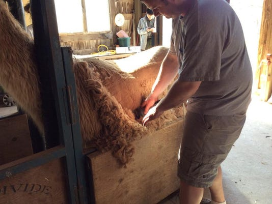 Shearing 3.jpg