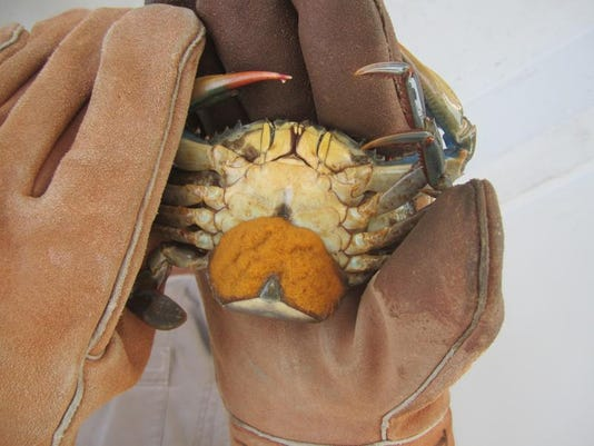crab female.jpg