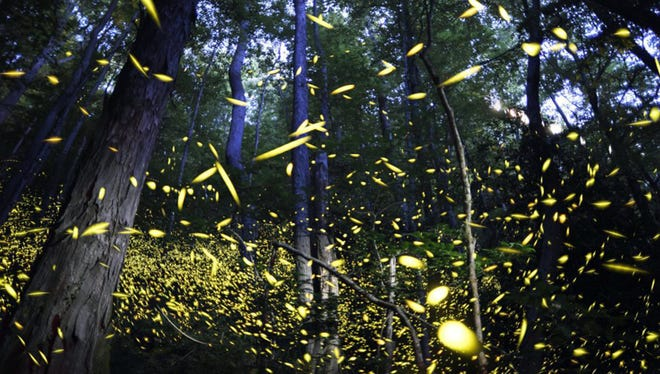 Synchronous fireflies fill the air June 3, 2014, for their annual mating season at Elkmont in the Tennessee portion of the Great Smoky Mountains National Park.