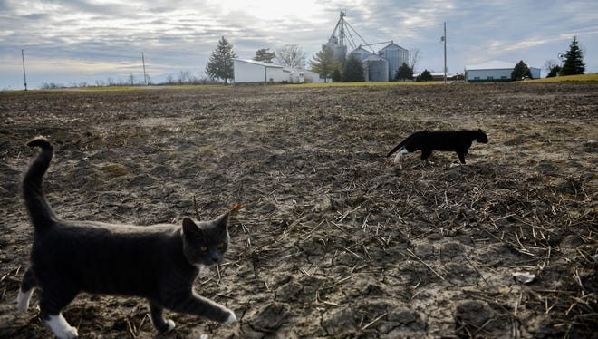 Cats cross a field at Voisinet Farms in Laingsburg on Thursday, March 9, 2017. Farmer Eric Voisinet worried that the EPA's Waters of the US rule would put burdensome regulations on low-lying areas of his farm including drainage tiles.