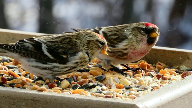 The common redpoll has been a frequent visitor to local bird feeders this winter.