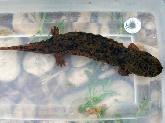 A hellbender held for processing after being captured