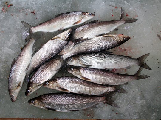 Ten whitefish, the one-person daily bag limit, lay on the ice of Green Bay near Sturgeon Bay, Wis. The fish ranged from 17 to 20 inches in length. Photo taken Jan. 11, 2017 by Paul A. Smith.